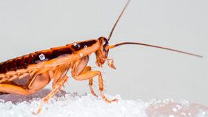 Cucarachas | Control de plagas | ODEM